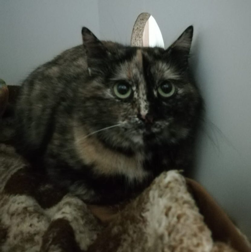 AFRODITA gatA joven en adopción en la protectora para animales abandonados de jaca ene21