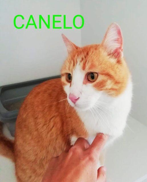 canelo gato joven en adopción en la protectora para animales de jaca apap pirineos
