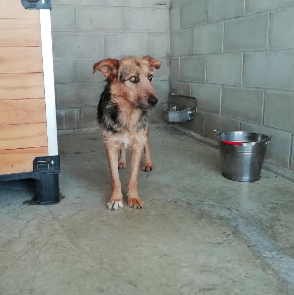 CANDELA perra JOVEN PASTOR ALEMAN en adopción en la protectora para animales abandonados de jaca 2021