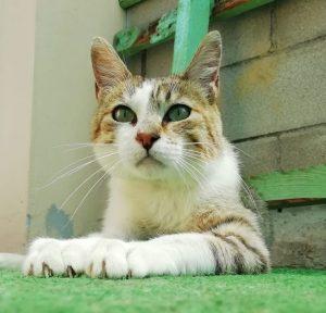 olaf gato joven en adopcion en la protectora para animales abandonados de jaca huesca 2021
