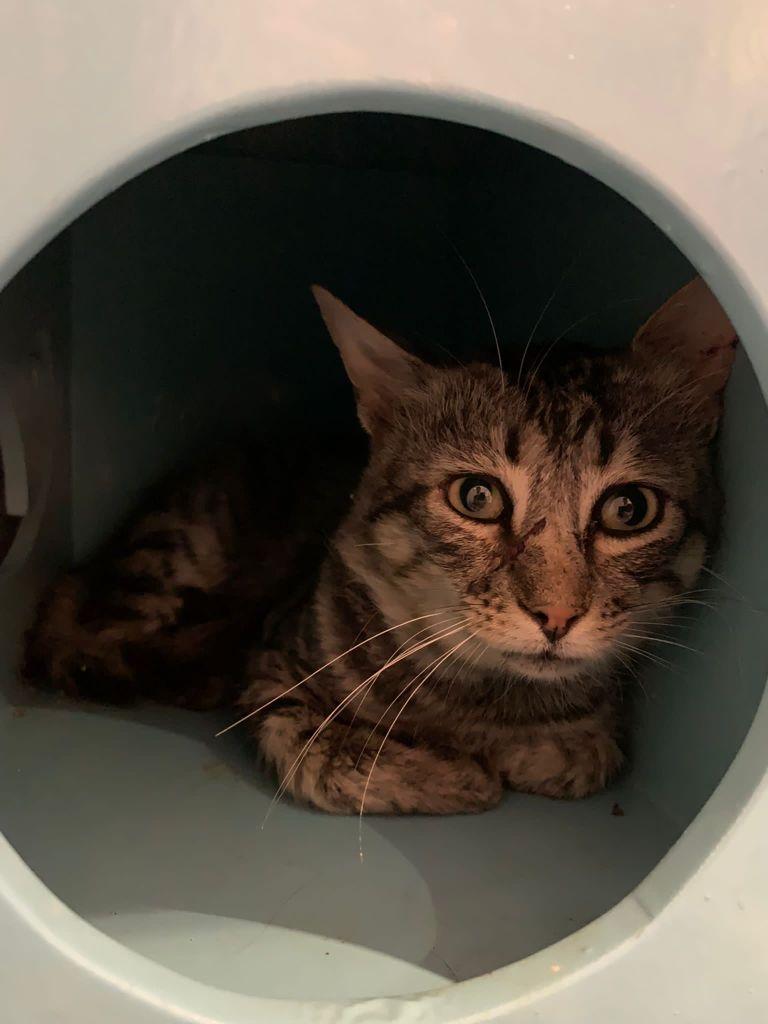 Barry gato joven en adopción en la protectora de animales de Jaca 2021 huesca