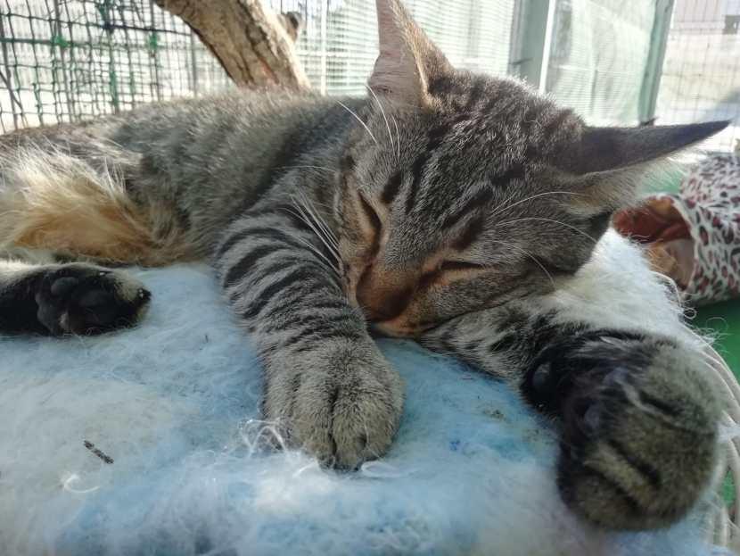 mia gata joven en adopción en la protectora para animales abandonados de jaca abr21 huesca 2021