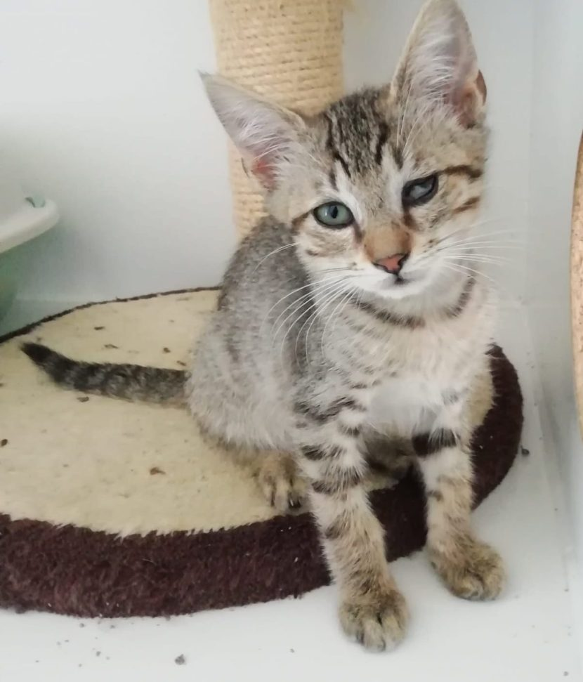 estevan gato gatito cachorro en adopción en la protectora para animales abandonados pirineos de jaca 2021