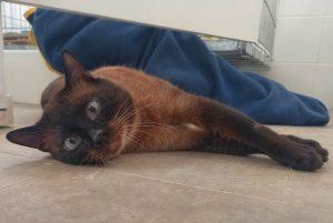 MARLON gato adulto siames en adopción en la protectora de animales de Jaca HUESCA