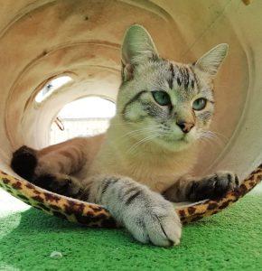 BLANQUI GATO JOVEN en adopción en la protectora de animales de Jaca HUESCA