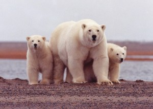 "Female polar bear with her twin cubs photo by:Photo on <a href=""https://visualhunt.com/re/7fdb09"">Visual Hunt</a>"