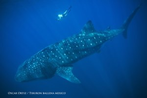 Dr. Deni Ramirez Macias and a Whale Shark