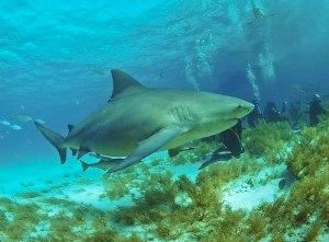 bull shark bahamas, bull shark, bahamas