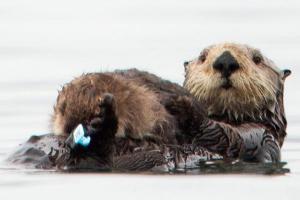 Sea Otter Santa Cruz Oil spill