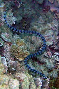 Banded Sea Krait, sea snakes facts