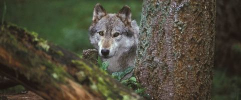 protect the wolves, wolves, wolf, Native American sacred species