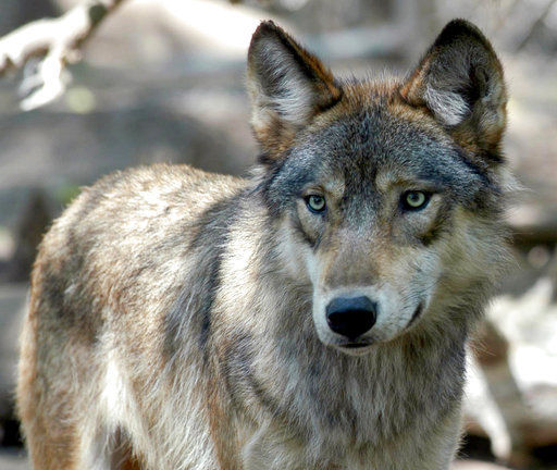 protect wyashington wolves, wolves, wolf, protect the wolves