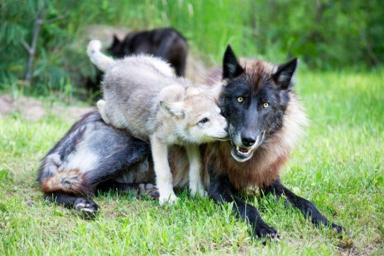 protect the wolves, wolves, or7, oregon wolves, protect oregon wolves