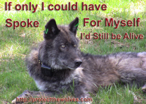 wolves, wolf, protect the wolves, wolf protection organization, native american religious 501c3