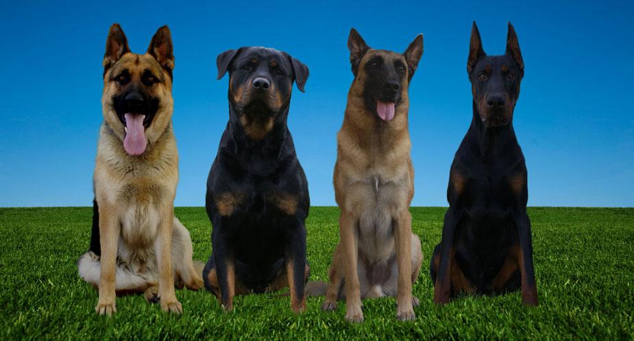 Executive Protection Dog