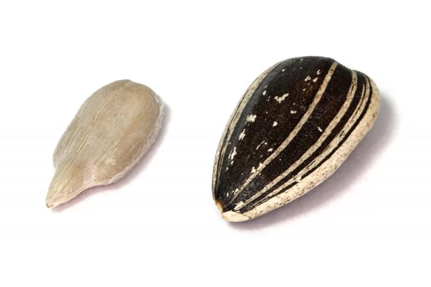 graine brute et décortiquée