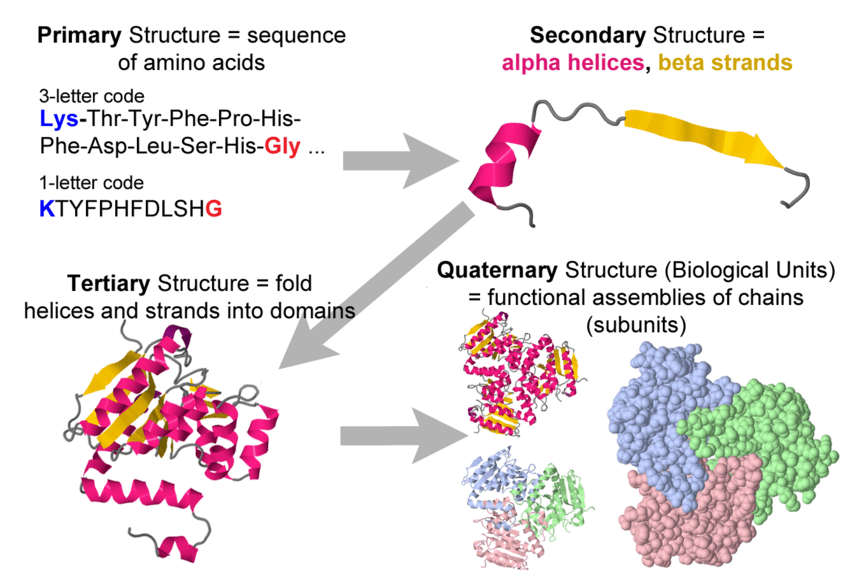 Protein primary secondary tertiary and quaternary structure  Proteopedia life in 3D