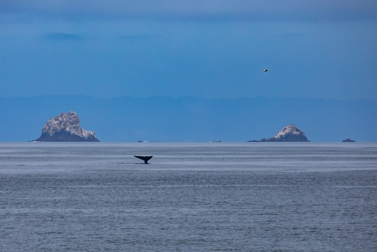 A humpback whale with the North Farallon Islands. Image Credit: Julie Chase/ACCESS/NOAA/Point Blue
