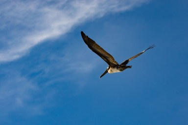 Brown Pelican off the coast of north-central California. Image Credit: Julie Chase/ACCESS/NOAA/Point Blue