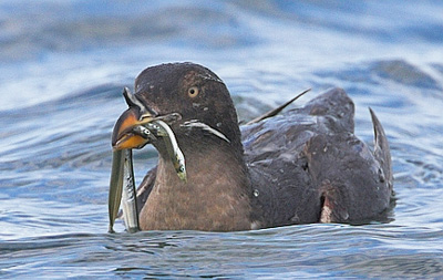 Rhinoceros Auklet are similar to Cassin's Auklet in foraging and nesting, but they are less abundant in the area. They eat fish, not krill, primarily what's available. Juvenile rockfish are the preferred food choice, but they will eat larger anchovies, which can be problematic because they may be too large for chicks to consume. Image Credit: Farallon Islands Foundation