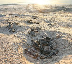 Sea Turtle Nest. Image Credit: Archie Carr National Wildlife Refuge
