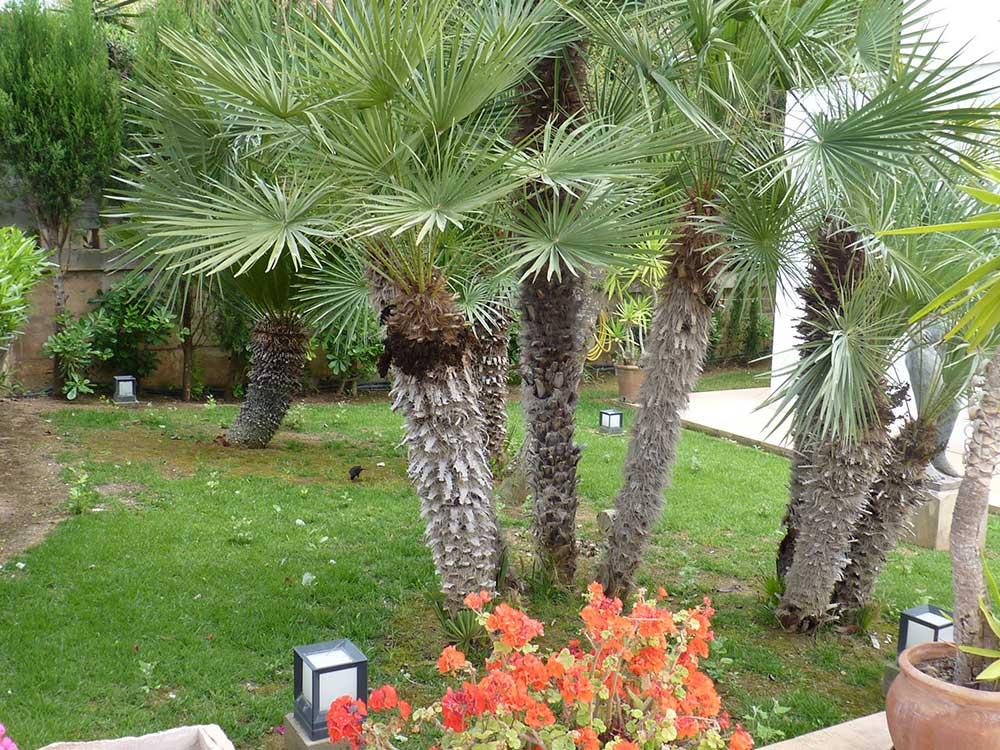 Pinos Para Jardin Sangrando En Verde Su Religin Es La