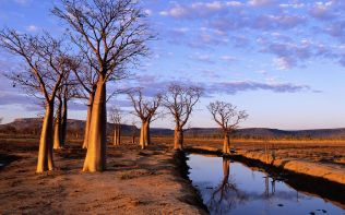 Boab Trees on Kimberley Plateau