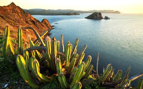 Senita Gacti creciendo en la Isla Datil (Senita Cacti Growing on