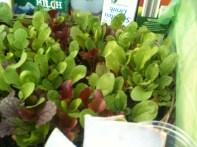 die ersten Salate am Start
