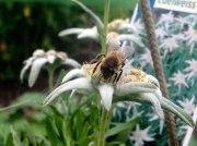 Biene auf Edelweiss