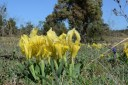 Iris nains jaunes (sauvages).