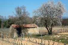 Cabanon de vigne au printemps. Carcès (Var).