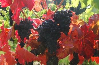 Automne à la vigne. Grappe et feuilles.