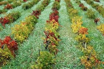Vigne fin d'automne. La Cadière-d'Azur (Var).