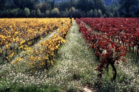 Vigne fin d'automne. Brignoles (Var). Jaune et rouge.