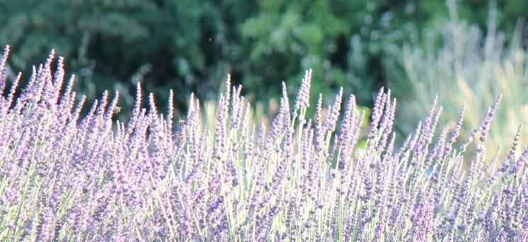 Lavender festival Ferrassierres 06 July