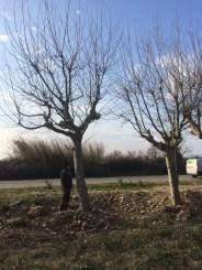 Plane tree 110-130cm €6800