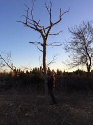 Plane tree 80-90cm €2500