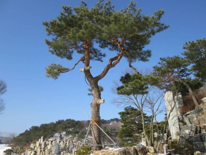 月明洞の松の木