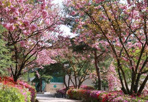 20160425月明洞八重桜