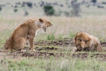 Інтернет-користувачі потішаються з кумедної сварки лева і левиці після спарювання