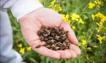 У Лановецькому районі через отрутохімікати загинуло 380 бджолиних сімей