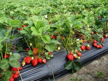 Збір врожаю полуниці в Польщі під загрозою: 40% полуниці може залишитися на полі