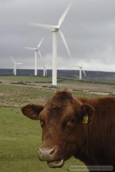 windfarm with cattle