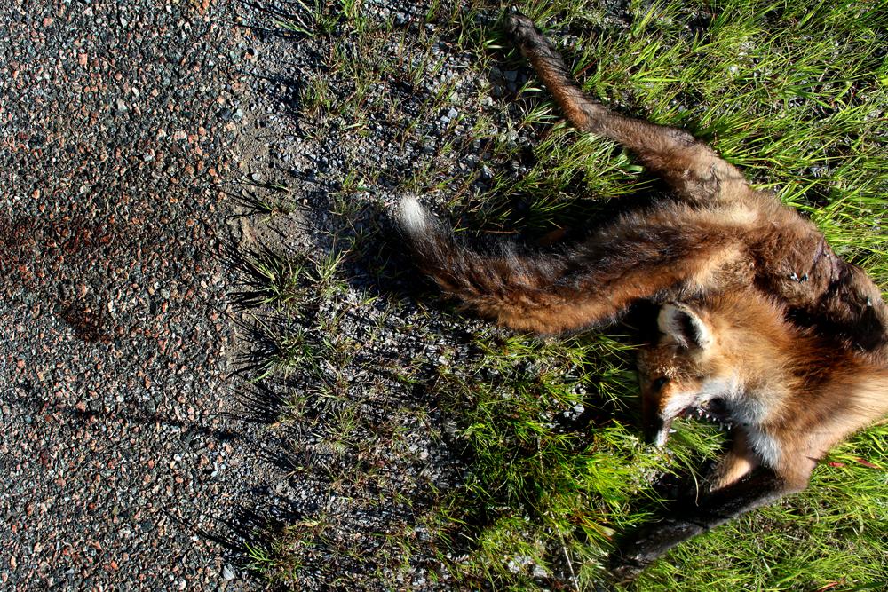 Vulpes vulpes fulva | Red Fox Marion, Virginia