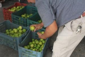 """""""Harvey"""", afectará exportaciones de limón persa hasta un 40%"""