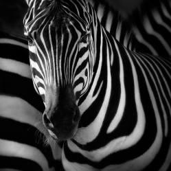 """Zebra"" - Jose Beut - 231215"