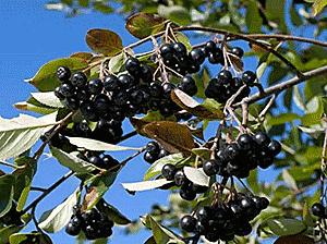 Черноплодная рябина рецепты от давления