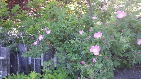 Wild roses next to our old milk house.