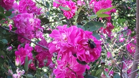 Bumblebee on a rose - Poudre River Stables - Fort Collins - Colorado - 80521